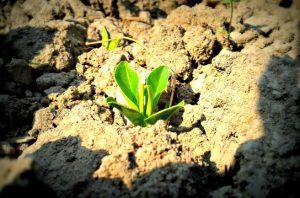 Vihreä itävä kasvi mullassa