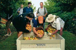 kirkon jäsenet keräävät hedelmiä yhdessä ulkona
