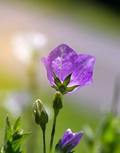 Violetti kukka auringonpaisteessa